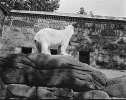 Polar bears at Franklin Park Zoo