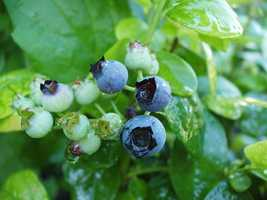 Blueberry juice is a powerful antioxidant that helps prevent damage to DNA.