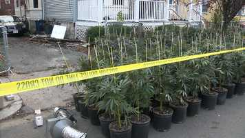 Police executed a search warrant at about 3 p.m. Saturday and pulled the plants out of the house.