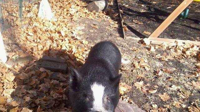 Newton Police Pig 112913.jpg