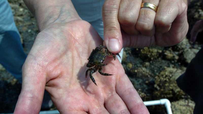 Asian Shore Crab 121513