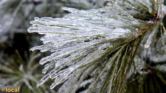 Frozen Pine Needles