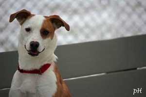 Maggie is a 2-year-old Jack Russell/Beagle mix who is currently staying at MSPCA Nevins Farm in Methuen. Maggie would do best in a dog-experienced home with a single owner or adults. She is very skittish and nervous around new people and kids. She is a little shy but can be very affectionate if you're patient with her, the MSPCA says. For more info on Maggie, click here!