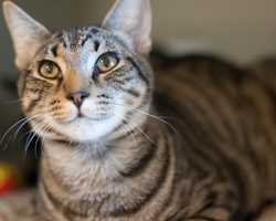 """Alan Frog is a young domestic short hair at MSPCA Boston. Alan is a """"energetic boy with a great personality,"""" who would probably do well in an active household. He gets along with other cats, but haven't lived with dogs. To learn more about Alan Frog, click here!"""