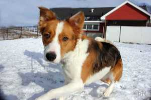 Becky is a young collie mix currently staying at MSPCA Nevins Farm is Methuen. Becky is a very energetic, playful and lively dog that would make a great exercise companion. She'll need some help channeling her energy into fun activities and take training classes to help her learn good manners. For more info on Becky, click here!