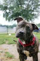 """Brandi, a Brindle Pit Bull, is a young, 44-pound """"ball of pure cuteness"""" currently staying at MSPCA Nevins Farm in Methuen. Brandi was surrendered because her owners were not allowed to have her at their house. Brandi loves to play and snuggle. She could live with other mellow dogs, but probably wouldn't be able to live with cats and young children. For more info on Brandi, click here!"""