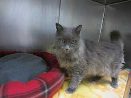 Bonk, 5, is a gray longhaired kitty who came to the shelter after his owner died. He is super affectionate, outgoing, loving and mellow. He has urinary crystals and is on a special diet. He is also on medication for a thyroid condition. He gets along well with cats and kids. For more on Bonk, click here.
