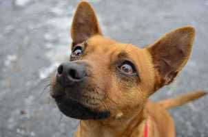 """Lolly is a 2-year-old, 16 lb Chihuahua mix currently living at MSPCA Nevins Farm in Methuen. Lolly is a """"sociable and fun dog,"""" but would prefer to be the only pooch in the home. She would probably do best without young kids. Lolly will make a great addition to a family that is willing to train her and take time to understand her quirks. For more info on Lolly, click here!"""