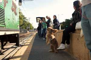 Charlie (center) jumps when the MBTA Green Line train arrives at the Griggs Street/Long Avenue Station. His owner, Ashley Molina, waits for the train which heads to her company on Bolyston Street in Boston.
