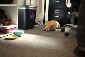 """Chico lies on the office floor when his owner, Meera Attride, is working. """"We are a laid-back and open-mined company,"""" said Attride, Molina's manger. """"We work for long hours. I don't need to rush home to take of him,"""" said Attride. """"Our CEO brings his two dogs here, too."""""""