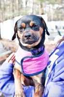 Wilma, a puggle mix, came to the shelter from a local animal control. She will dance around and seems to like to be picked up. She also likes to cuddle up in her blankets. She loves the car, belly rubs and eating treats. For more info on Wilma, click here!