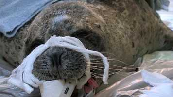 Dr. Marrion and a surgeon from Florida successfully removed both seals' cataracts.