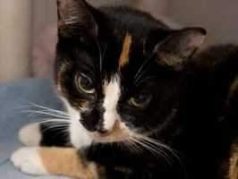 Rosie is a spayed female, tortie and white domestic shorthair kitty. She is about 1 year and 3 months old. She's been at the the Animal Rescue League of Boston for a few weeks. For more info on adopting Rosie, click here.