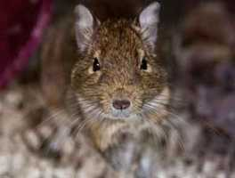 Gus is an unaltered brown, playful Degu who is about 2 years old. He did not get along with the other Degu in the home, so would prefer to have a cage to himself. For more info on adopting Gus, click here.