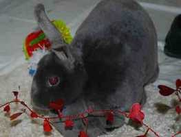 Nyx, 7, is an adorable, all gray Mini Rex bunny looking for a new home. She was used to having access to her cage for the litter box, and otherwise being allowed to explore the home. She was surrendered because the child was too rough with her. Nyx was used to being part of a family and is a bit overwhelmed with the change in environment, the ARL says. For more info on Nyx, click here!