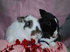 Peek and Boo are almost 3 years old and spayed and neutered bunnies. Peek is a white and brown female. Boo is a black and white male. The pair have always been together and are looking for a home where they can remain together. Peek is a bit braver than Boo, but they both like to explore. For more info on adopting Peek and Boo, click here!