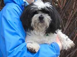 """Bobby is a neutered 7-year-old Shih Tzu. He is """"super sweet"""" and was surrendered because his owners moved. He'd do best in a quiet house without active kids. For more info on adopting Bobby, click here."""