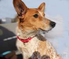 """Brandi, 6, is a Basenji and beagle mix currently living at MSPCA at Nevins Farm in Methuen. """"She has a beautiful speckled coat and is more interested in people than she is in toys,"""" the MSPCA says. She is looking for an experienced home with adults. For more info on adopting Brandi, click here."""