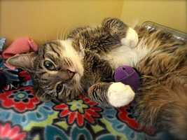 Explorer is a 6-year-old boy living at MSPCA at Nevins Farm in Methuen. Explorer was outside during some of the coldest days and nights this year and has adjusted to being warm and fed every day. He would probably do best as an only cat. For more info on Explorer, click here.