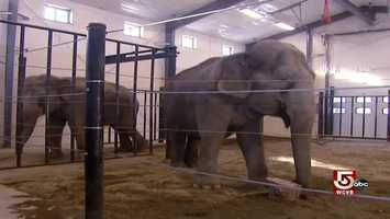 Rosie and Opal, both in their forties, are both circus retirees. They were brought here by veterinarian Jim Laurita.