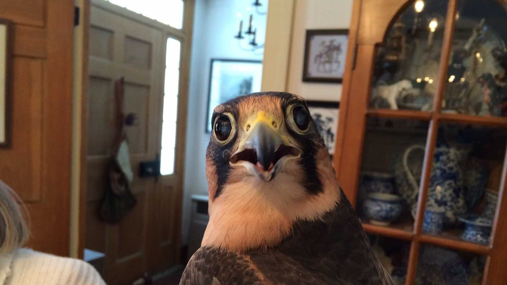 Blind falcon