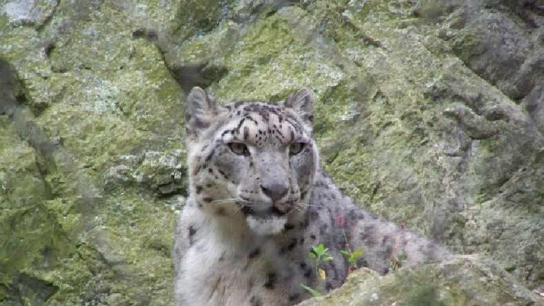 Snow leopard dead 3.6