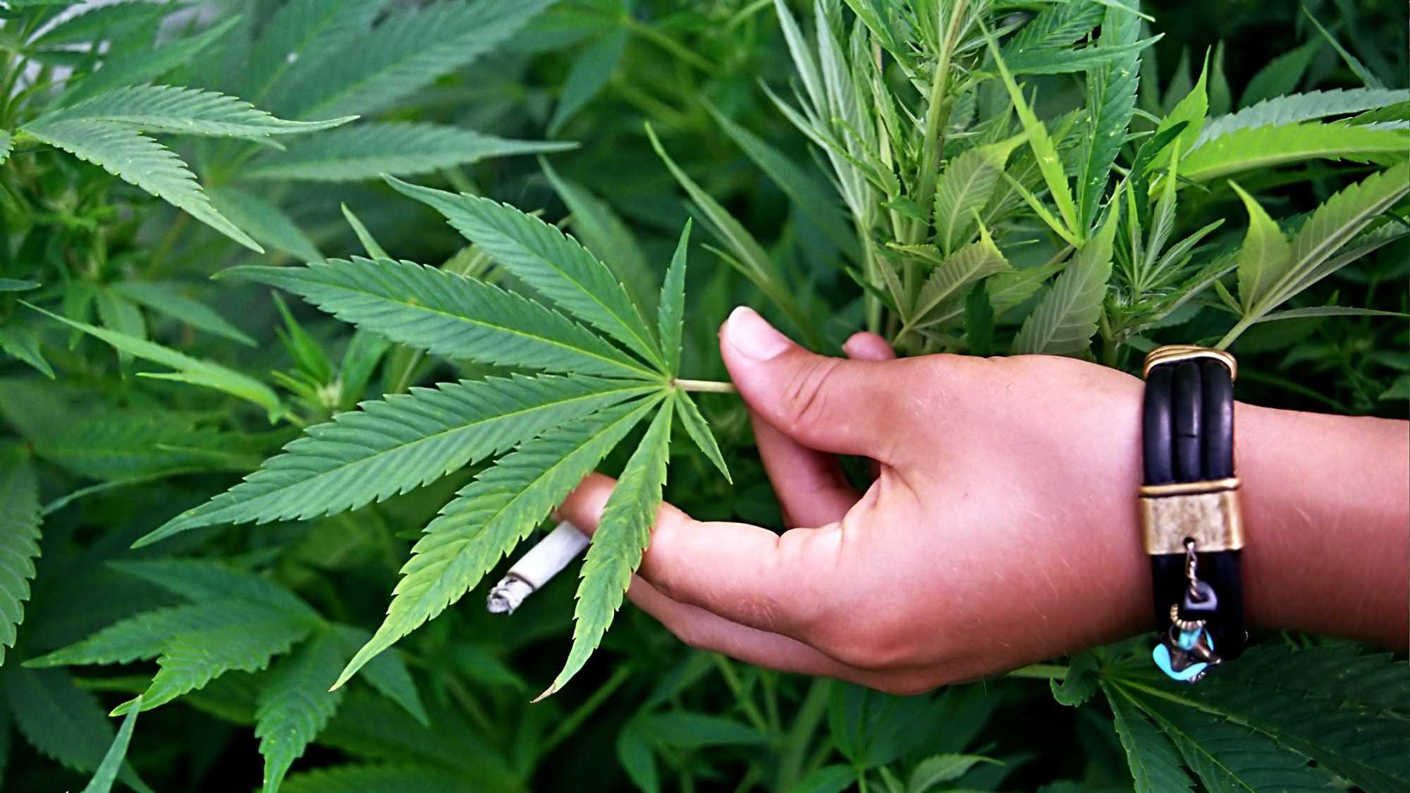 Marijuana Plant 0310.jpg