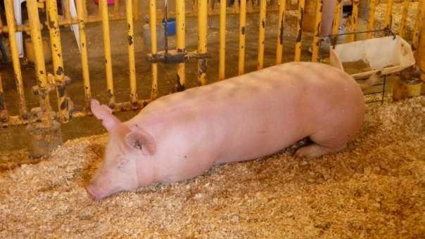 SG Pig at State Fair 0408