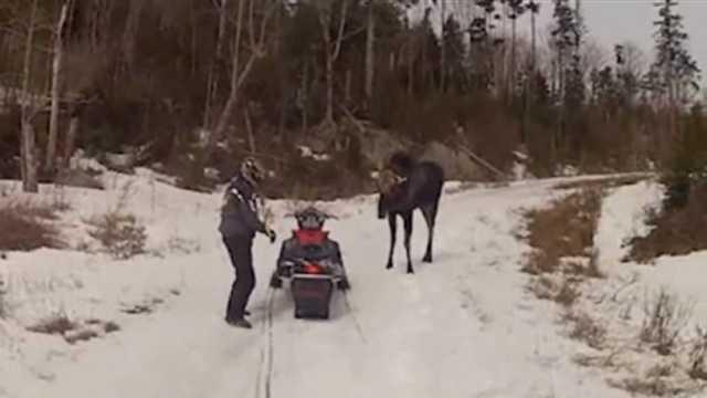 Moose attacks snowmobiler