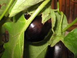 41. Eggplant