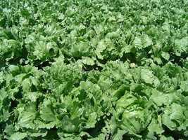 15. Lettuce
