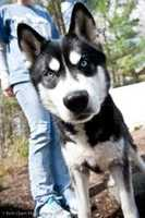 Boomer is a 4.5 year old Siberian Husky mix who does well in the car or on a leash. He is not a fan of other dogs, but is good with cats. To meet Boomer, click here.