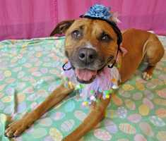Brownie, 8, is a super sweet Pit Bull who came to the shelter because her owner could no longer afford her. She loves to cuddle and would do OK with another dog, but would prefer no cats. For more on Brownie, click here.