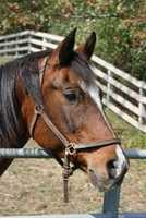 Aladdin is a bay Arabian gelding who is 32 years young. He is currently in a foster home where he enjoys being a companion. He is a sweet guy who is looking for a forever home. For more on Aladdin, click here.