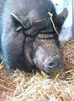 Annie is 15 yo potbellied pig who came with another adoptable pottbelly pig, Arnold. Annie and Arnold were with the same owner for 15 years, but their family was forced to move and they couldn't take them. For more on Annie and Arnold, click here.