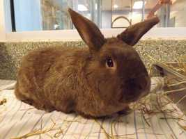 Baloo is a large cinnamon-colored rabbit. Brownie is mellow and has a big personality. His favorite treat are bananas. For more on Brownie, click here.