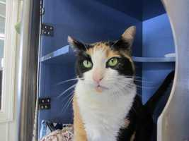 Bella is a female adult calico mix that is currently staying at the MSPCA's Cape Cod Animal Care and Adoption Center in Centerville. She has been spayed and up to date on her shots. She'd do best in a home without other cats. For more on Bella, click here.