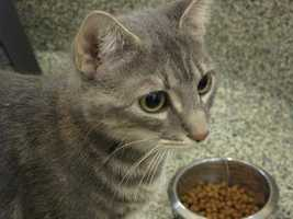 Billy was brought to the MSPCA because his previous home was getting pretty crowded. He's a very playful and affectionate boy who loves siting on naps. For more on Billy, click here.