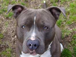 Boss is an adult male Pit Bull Terrier currently staying at the MSPCA Boston Animal Care and Adoption Center in Boston. For more on Boss, click here.
