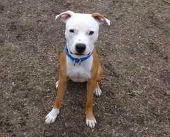 Bradley is a young Pit Bull mix who was found as a stray. He is active and would benefit from some training. He gets along with some dogs, but he hasn't been around cats. He would do best with older kids. For more on Bradley, click here.