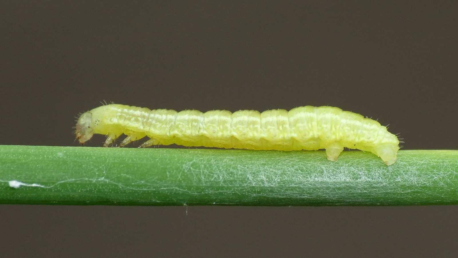 Winter moth caterpillar 5.21.14