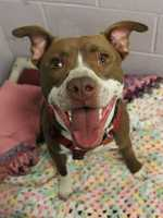 My name is Petey! I am an 8-month-old male Pitbull.  I am active, playful, and super friendly. I know how to ''sit'' and I am trying my best to learn more commands. I will do best in an active home who will take me on adventures. For more information about me, please call, visit, or email the shelter. Buddy Dog Humane Society, Inc. Sudbury, MA (978) 443-6990 or info@buddydoghs.com.