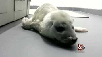Recently admitted, a newborn harbor seal, found stranded in New Hampshire.