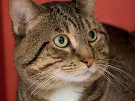 Alvin was found in a parking lot brought to the MSPCA. He is very sweet, quiet and mellow, He might seem shy at first, but he is simply getting used to being at the shelter. For more on Alvin, click here.