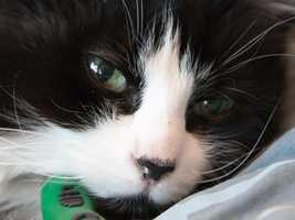 Bo Bo, 8, is easy going and friendly that would do well with older kids and other cats. The shelter is not sure how she'd do with dogs. She is a big fan of catnip and being groomed. For more on Bo Bo, click here.