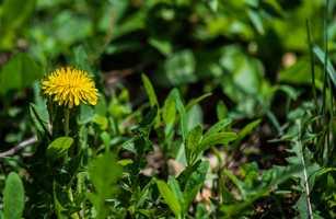 #15 Dandelion Greens: 46.34 nutrient density score.