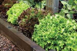 #7 Leaf lettuce: 70.73 nutrient density score.