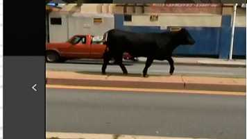 The bull was seen running on North Avenue shorty before it was shot.