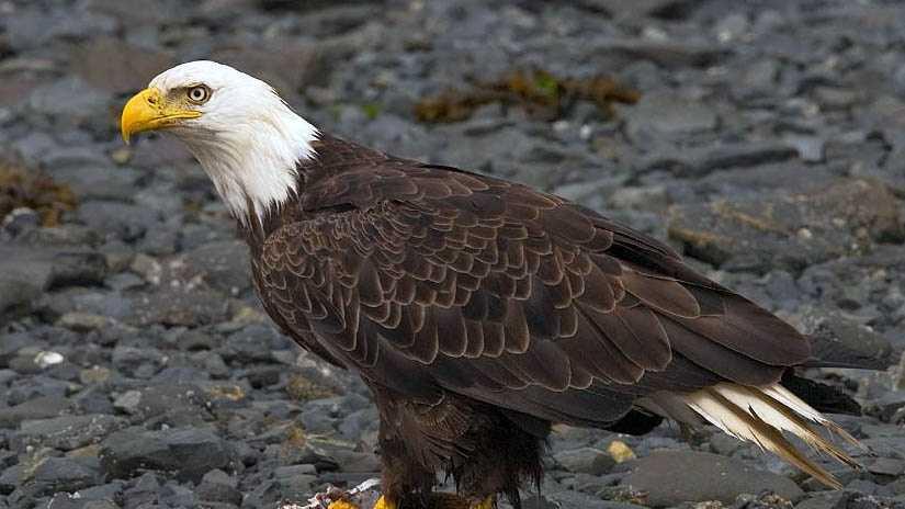 Bald eagle generic