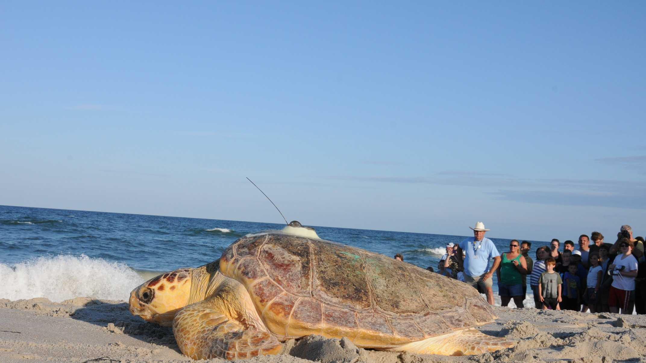 Loggerhead turtle release in VA 01 0624.jpg